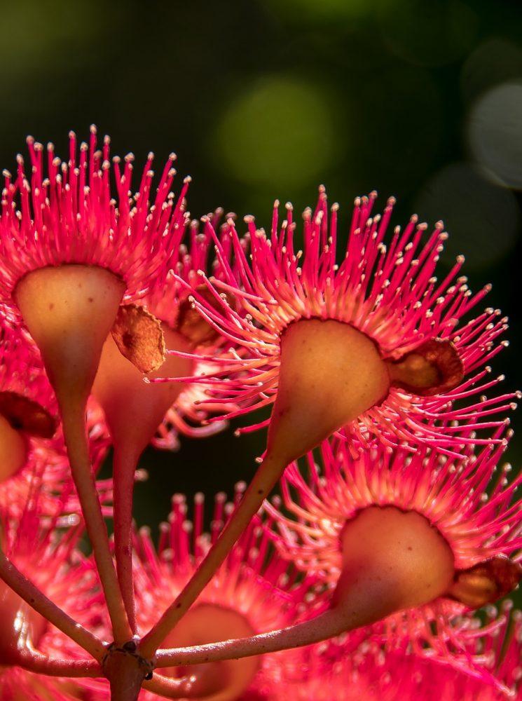 pb eucalyptus