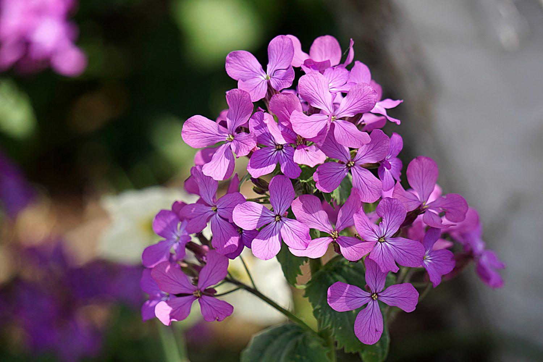 pb rose geranium